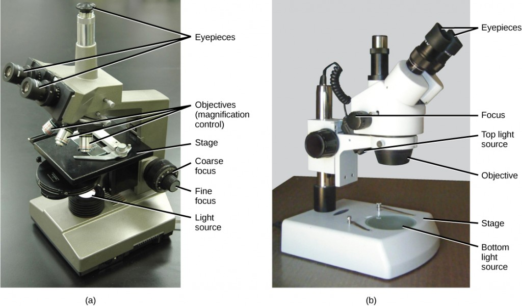 Part a: This light microscope has binocular lenses and three objective lenses. The sample stage is directly beneath the objective lens. The light microscope sits on a tabletop. Part b: The dissecting microscope has binocular eyepieces, one objective lens, and light sources from both above and below the sample stage. There is room on the stage for a three-dimensional specimen.