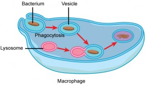 In this illustration, a eukaryotic cell is shown consuming a bacterium. As the bacterium is consumed, it is encapsulated into a vesicle. The vesicle fuses with a lysosome, and proteins inside the lysosome digest the bacterium.