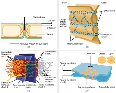 Part a shows two plant cells side-by-side. A channel, or plasmodesma, in the cell wall allows fluid and small molecules to pass from the cytoplasm of one cell to the cytoplasm of another. Part b shows two cell membranes joined together by a matrix of tight junctions. Part c shows two cells fused together by a desmosome. Cadherins extend out from each cell and join the two cells together. Intermediate filaments connect to cadherins on the inside of the cell. Part d shows two cells joined together with protein pores called gap junctions that allow water and small molecules to pass through.