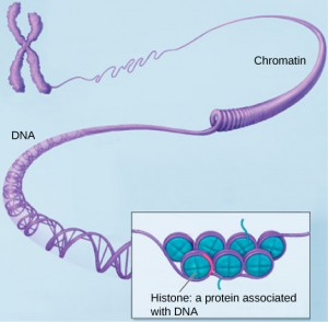 This image shows various levels of the organization of chromatin (DNA and protein).