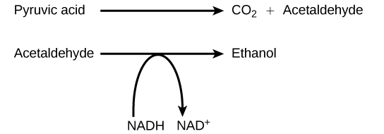 Graphic showing the alcohol fermentation reaction in an equation.