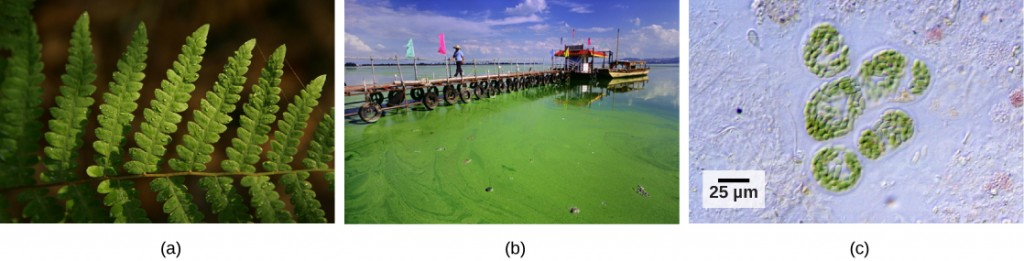 Photo a shows a green fern leaf. Photo b shows a pier protruding into a large body of still water; the water near the pier is colored green with visible algae. Photo c is a micrograph of cyanobacteria.