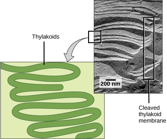 This illustration shows a green ribbon, representing a folded membrane, with many folds stacked on top of another like a rope or hose. The photo shows an electron micrograph of a cleaved thylakoid membrane with similar folds from a unicellular organism