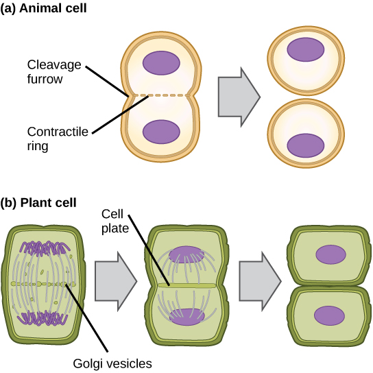 This illustration shows cytokinesis in a typical animal cell and a typical plant cell. In an animal cell, a contractile ring of actin filaments forms a cleavage furrow that divides the cell in two. In a plant cell, Golgi vesicles coalesce at the metaphase plate. A cell plate grows from the center outward, and the vesicles form a plasma membrane that divides the cytoplasm.