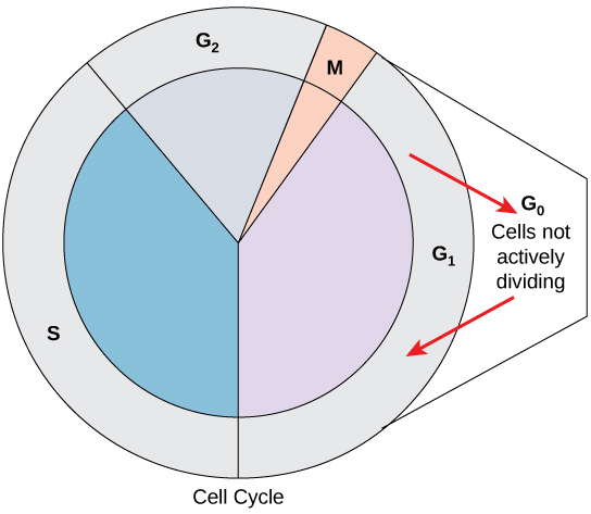 In part (a), a cleavage furrow forms at the former metaphase plate in the animal cell. The plasma membrane is drawn in by a ring of actin fibers contracting just inside the membrane. The cleavage furrow deepens until the cells are pinched in two. In part (b), Golgi vesicles coalesce at the former metaphase plate in a plant cell. The vesicles fuse and form the cell plate. The cell plate grows from the center toward the cell walls. New cell walls are made from the vesicle contents.