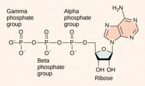 This illustration shows the molecular structure of ATP. This molecule is an adenine nucleotide with a string of three phosphate groups attached to it. The phosphate groups are named alpha, beta, and gamma in order of increasing distance from the ribose sugar to which they are attached.