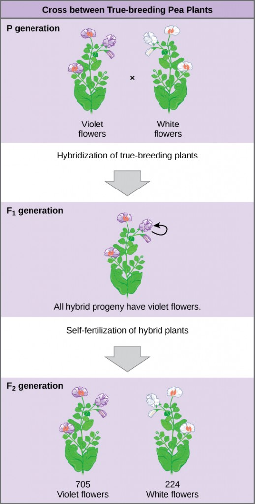 The diagram shows a cross between pea plants that are true-breeding for purple flower color and plants that are true-breeding for white flower color. This cross-fertilization of the P generation resulted in an F_{1} generation with all violet flowers. Self-fertilization of the F_{1} generation resulted in an F_{2} generation that consisted of 705 plants with violet flowers, and 224 plants with white flowers.