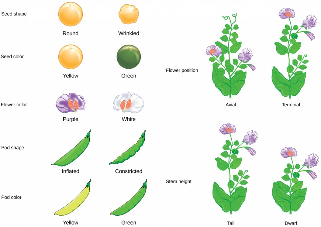Seven characteristics of Mendel's pea plants are illustrated. The flowers can be purple or white. The peas can be yellow or green, or smooth or wrinkled. The pea pods can be inflated or constricted, or yellow or green. The flower position can be axial or terminal. The stem length can be tall or dwarf.