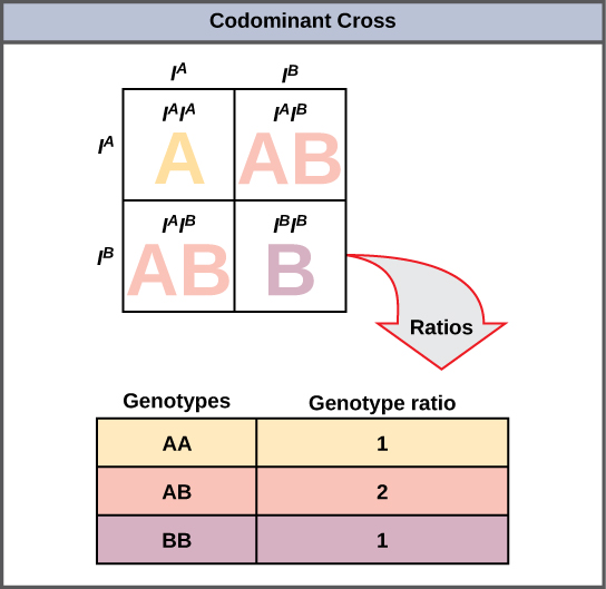 A Punnett square showing both parents with AB blood types. The offspring will have AA, AB, and BB blood types in a ratio of 1 to 2 to 1.