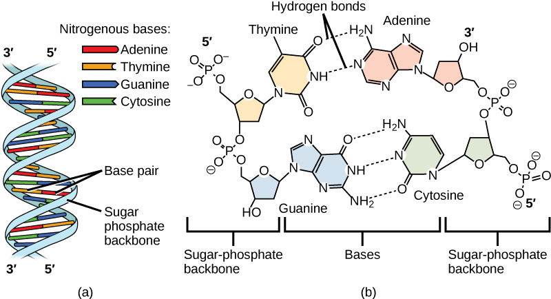Part A shows an illustration of a DNA double helix, which has a sugar phosphate backbone on the outside and nitrogenous base pairs on the inside. Part B shows base-pairing between thymine and adenine, which form two hydrogen bonds, and between guanine and cytosine, which form three hydrogen bonds.