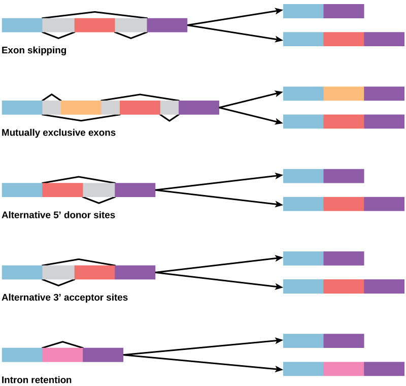 Illustration of segments of pre-mRNA with exons shown in blue, red, orange, and pink. Five basic modes of alternative splicing are generally recognized. Each segment of pre-mRNA can be spliced to produce a variety of new mature mRNA segments; two are shown for each here. In the case of exon skipping, an exon may be spliced out or retained. In the case of mutually exclusive exons, one of two exons is retained in mRNAs after splicing, but not both. In the case of an alternative donor site, an alternative 5' splice junction (donor site) is used, changing the 3' boundary of the upstream exon. In the case of an alternative acceptor site, an alternative 3' splice junction (acceptor site) is used, changing the 5' boundary of the downstream exon. In the case of intron retention, a sequence may be spliced out as an intron or simply retained. This is distinguished from exon skipping because the retained sequence is not flanked by introns. The pink portion is considered an intron when skipped (top) and an exon when included (bottom).