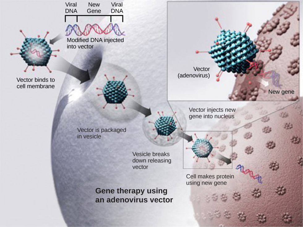 An illustration showing a virus containing viral DNA combined with a healthy non-mutated gene. The virus enters the targeted call and injects the non-mutated gene into the target cell nucleus.