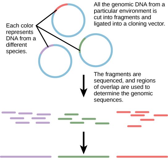 """The diagram shows 3 individual rings representing DNA, with a small portion of each in a contrasting color. The small portions represent DNA from a different species. The 3 rings have the caption """"All of the genomic DNA from a particular environment is cut into fragments and ligated into a cloning vector. The fragments are sequenced, and regions of overlap are used to determine the genomic sequences."""" Below the rings are many pieces of the contrasting color portions only, with an arrow pointing to solid longer lines of the 3 colors."""