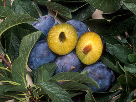 A photo of several purple plums and the leaves of the plum tree. One plum has been cut in half to expose the yellow flesh and small brown pit.