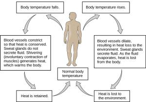 Flow chart shows how normal body temperature is maintained. If the body temperature rises, blood vessels dilate, resulting in loss of heat to the environment. Sweat glands secrete fluid. As this fluid evaporates, heat is lost from the body. As a result, the body temperature falls to normal body temperature. If body temperature falls, blood vessels constrict so that heat is conserved. Sweat glands do not secrete fluid. Shivering (involuntary contraction of muscles) releases heat which warms the body. Heat is retained, and body temperature increases to normal.