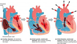 Illustration A shows cardiac diastole. The cardiac muscle is relaxed, and blood flows into the heart atria and into the ventricles. Illustration B shows atrial systole; the atria contract, pushing blood into the ventricles, which are relaxed. Illustration C shows atrial diastole; after the atria relax, the ventricles contract, pushing blood out of the heart. The sinoatrial node is located at the top of the right atrium, and the atrioventricular node is located between the right atrium and right ventricle. The heartbeat begins with an electrical impulse at the sinoatrial node, which spreads throughout the walls of the atria, resulting in a bump in the ECG reading. The signal then coalesces at the atrioventricular node, causing the ECG reading to flat-line briefly. Next, the signal passes from the atrioventricular node to the Purkinje fibers, which travel from the atriovenricular node and down the middle of the heart, between the two ventricles, then up the sides of the ventricles. As the signal passes down the Purkinje fibers the ECG reading falls. The signal then spreads throughout the ventricle walls, and the ventricles contract, resulting in a sharp spike in the ECG. The spike is followed by a flat-line, longer than the first, then a bump.