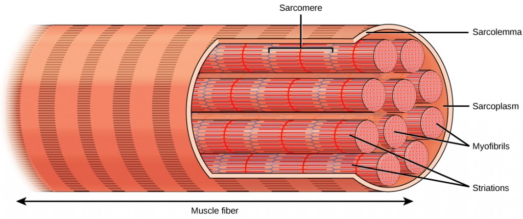 Illustration shows a long, tubular skeletal muscle cell that runs the length of a muscle fiber. Bundles of fibers called myofibrils run the length of the cell. The myofibrils have a banded appearance.
