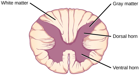 In the cross section the gray matter forms an X inside the oval white matter. The legs of the X are thicker than the arms. Each leg is called a ventral horn, and each arm is called a dorsal horn.