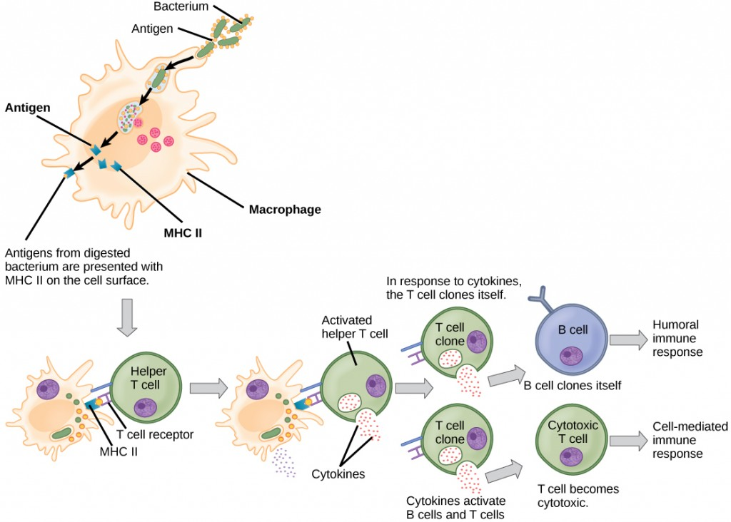 Illustration shows the steps involved in one method of activating a humoral or cell-mediated immune response. The first step shows a bacterium being engulfed by a macrophage. Lysosomes fuse with the vacuole containing the bacteria. The bacterium is digested. Antigens from the bacterium are attached to a MHC II molecule and presented on the cell surface. The next step shows the activation of a helper T cell. A T cell receptor on the surface of the T cell binds the MHC II-antigen complex presented by the macrophage (also called an antigen-presenting cell). As a result, the helper T cell becomes activated and both the helper T cell and macrophage cell release cytokines. The cytokines induce the helper T cell to clone itself. The cloned helper T cells release different cytokines that activate B cells, causing them to clone and begin the humoral immune response; and other T cells, turning them into cytotoxic T cells and beginning the cell-mediated immune response.
