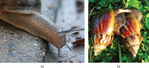 Part a: The photo shows a land snail. Part b: The photo shows 2 snails mating.