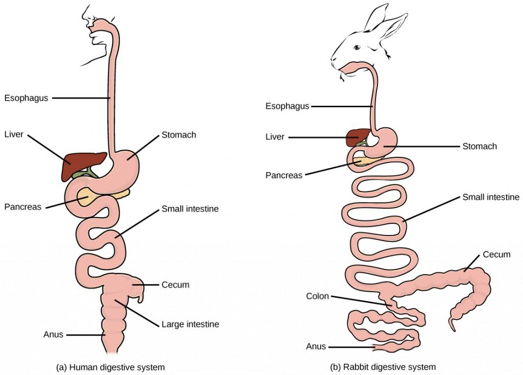 Figure34.6. (a) Humans and herbivores, such as the (b) rabbit, have a monogastric digestive system. However, in the rabbit the small intestine and cecum are enlarged to allow more time to digest plant material. The enlarged organ provides more surface area for absorption of nutrients. Rabbits digest their food twice: the first time food passes through the digestive system, it collects in the cecum, and then it passes as soft feces called cecotrophes. The rabbit re-ingests these cecotrophes to further digest them.