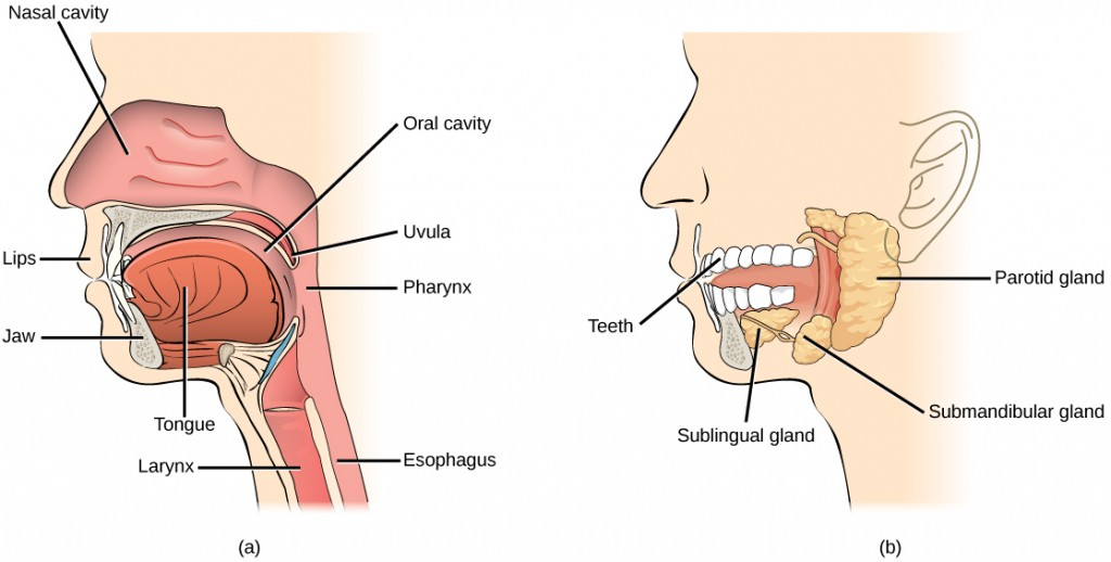 Figure34.9. Digestion of food begins in the (a) oral cavity. Food is masticated by teeth and moistened by saliva secreted from the (b) salivary glands. Enzymes in the saliva begin to digest starches and fats. With the help of the tongue, the resulting bolus is moved into the esophagus by swallowing. (credit: modification of work by the National Cancer Institute)