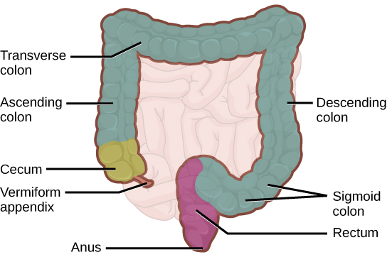 Figure34.13. The large intestine reabsorbs water from undigested food and stores waste material until it is eliminated.