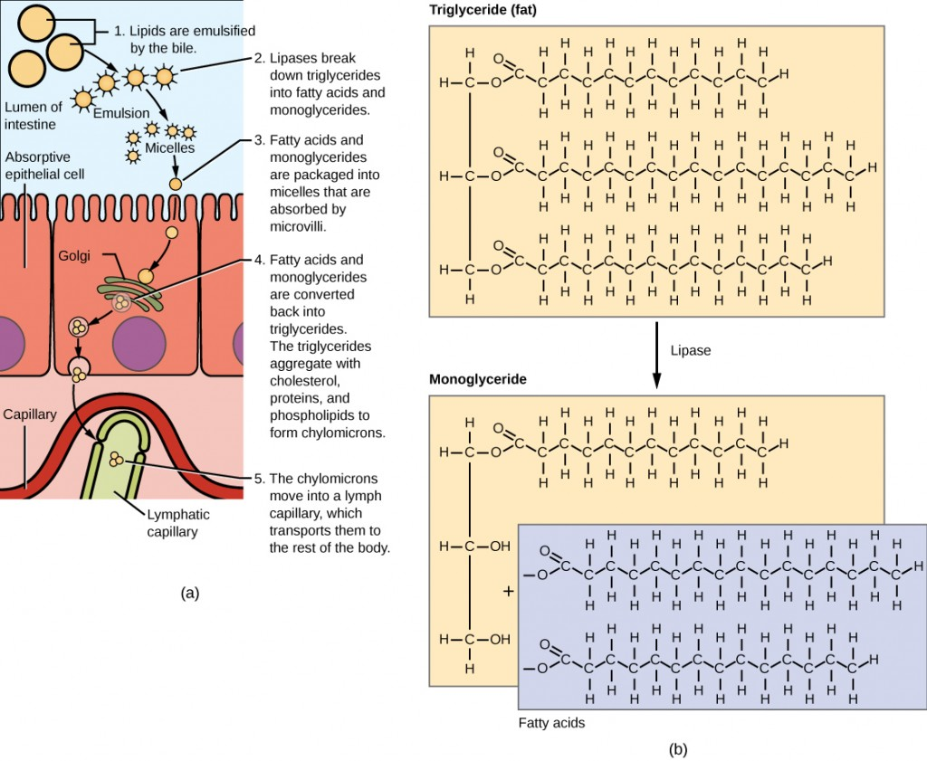 Figure34.18. Lipids are digested and absorbed in the small intestine.
