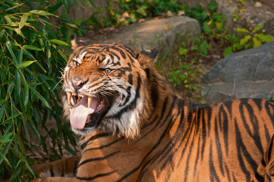 """Figure36.9. The flehmen response in this tiger results in the curling of the upper lip and helps airborne pheromone molecules enter the vomeronasal organ. (credit: modification of work by """"chadh""""/Flickr)"""