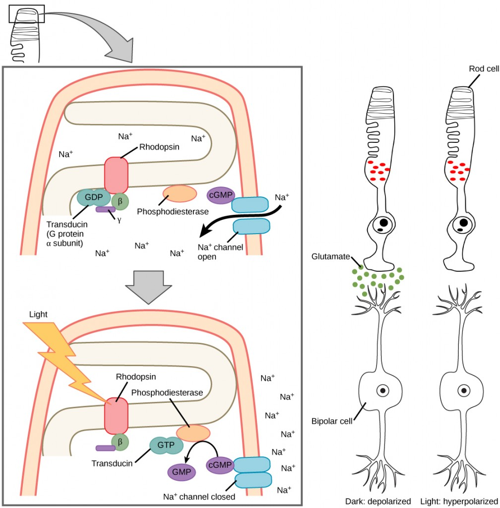 Figure36.20. When light strikes rhodopsin, the G-protein transducin is activated, which in turn activates phosphodiesterase. Phosphodiesterase converts cGMP to GMP, thereby closing sodium channels. As a result, the membrane becomes hyperpolarized. The hyperpolarized membrane does not release glutamate to the bipolar cell.