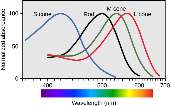 Figure36.21. Human rod cells and the different types of cone cells each have an optimal wavelength. However, there is considerable overlap in the wavelengths of light detected.