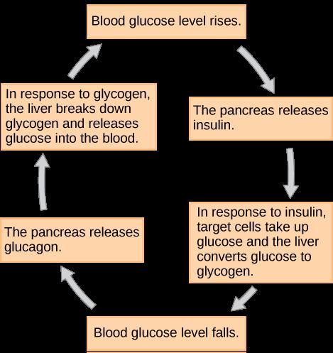 Figure37.11. Insulin and glucagon regulate blood glucose levels.