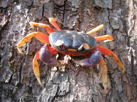 Figure38.3. Muscles attached to the exoskeleton of the Halloween crab (Gecarcinus quadratus) allow it to move.