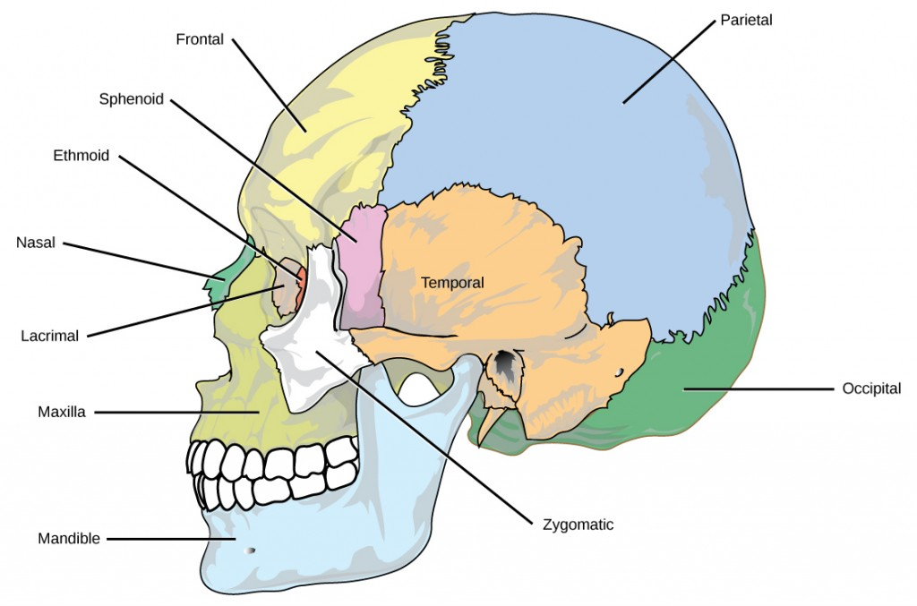 Figure38.6. The bones of the skull support the structures of the face and protect the brain. (credit: modification of work by Mariana Ruiz Villareal)