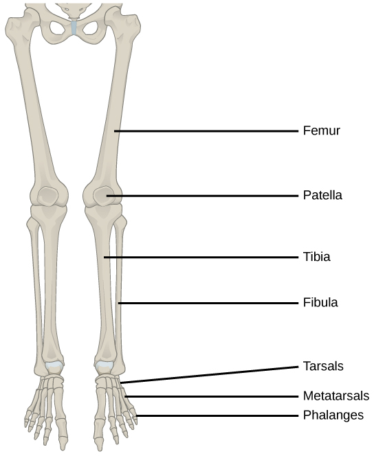 Figure38.14. The lower limb consists of the thigh (femur), kneecap (patella), leg (tibia and fibula), ankle (tarsals), and foot (metatarsals and phalanges) bones.