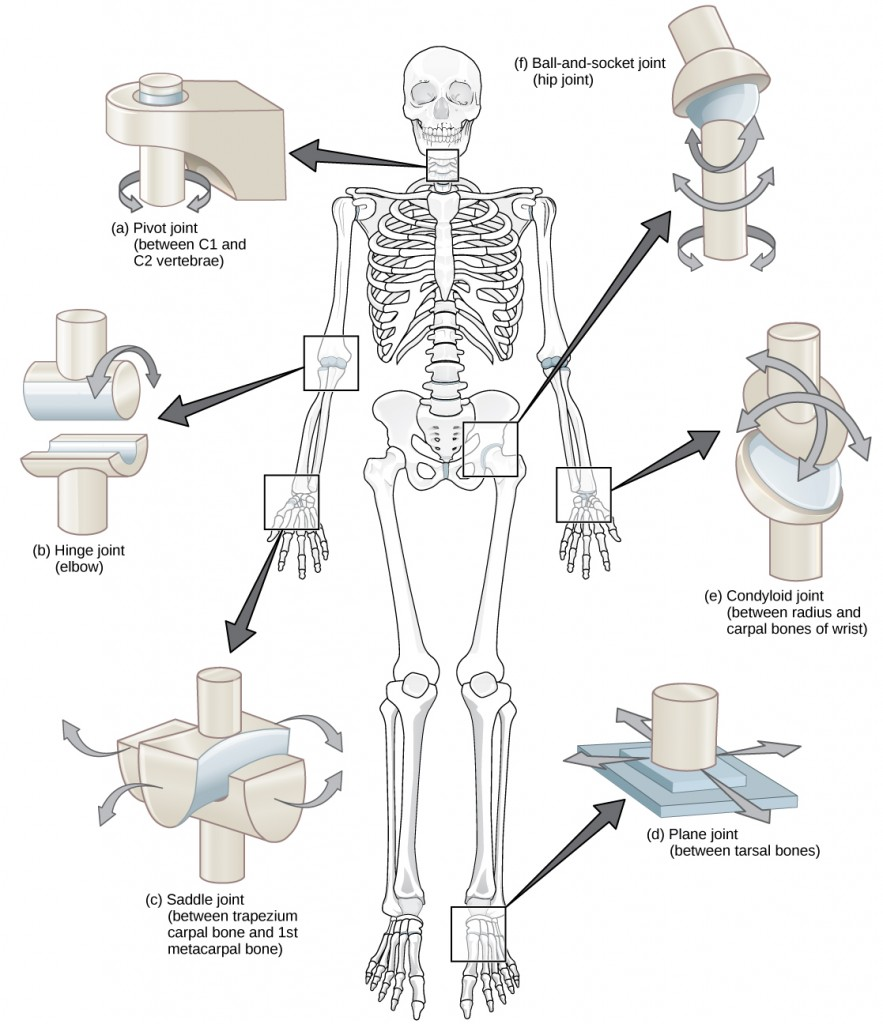 Figure38.26. Different types of joints allow different types of movement. Planar, hinge, pivot, condyloid, saddle, and ball-and-socket are all types of synovial joints.