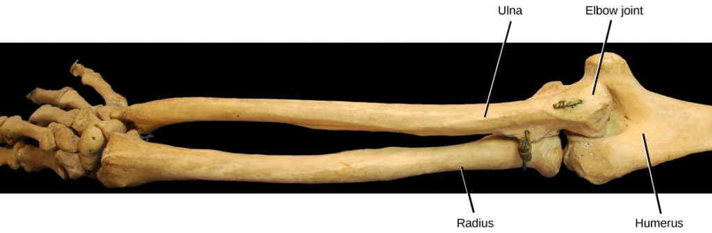 Figure38.28. The elbow joint, where the radius articulates with the humerus, is an example of a hinge joint. (credit: modification of work by Brian C. Goss)