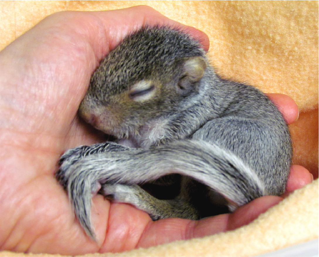 Image shows a squirrel being held by a person.