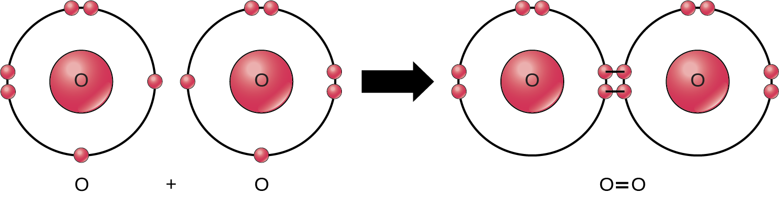 Two oxygen atoms are shown side-by-side. Each has six valence electrons, two that are paired and two that are unpaired. An arrow indicates that a reaction takes place. After the reaction, the four unpaired electrons join to form a double bond. This double bond can also be depicted by an equal sign between two Os.