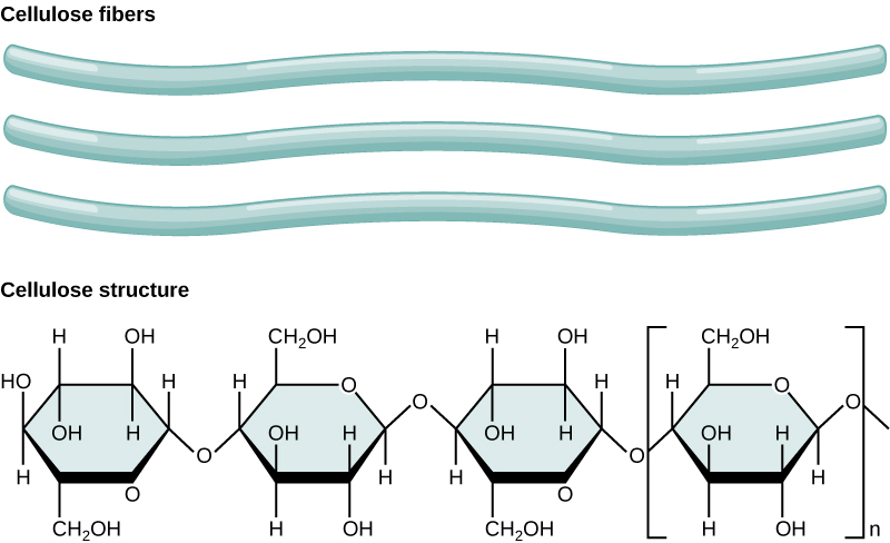 The chemical structure of cellulose is shown. Cellulose consists of unbranched chains of glucose subunits.  The cellulose fibers are long, tubular, and have a slight wave shape.