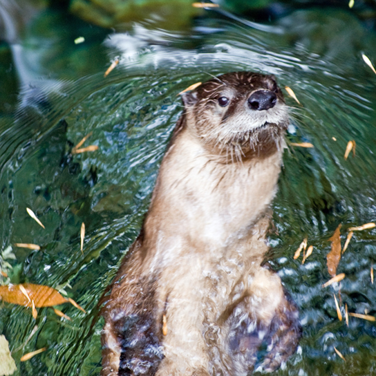Photo shows a river otter swimming.  The river otter has thick fur that is smooth and wet.