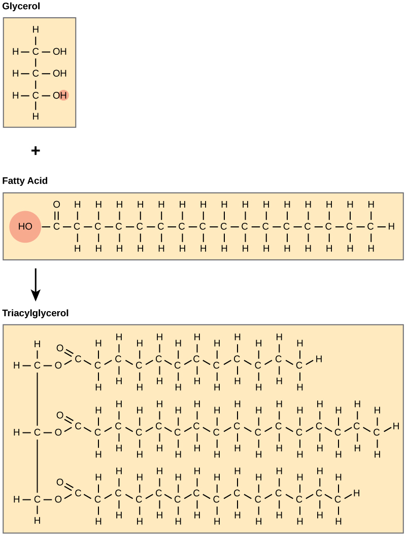 The structures of glycerol, a fatty acid, and a triacylglycerol are shown. Glycerol is a chain of three carbons, with a hydroxyl (upper O upper H) group attached to each carbon. A fatty acid has an acetyl (upper C upper O upper O upper H) group attached to a long carbon chain. In triacylglycerol, a fatty acid is attached to each of glycerols three hydroxyl groups via the carboxyl group. A water molecule is lost in the reaction so the structure of the linkage is C dash O dash C, with an oxygen double bonded to the second carbon.