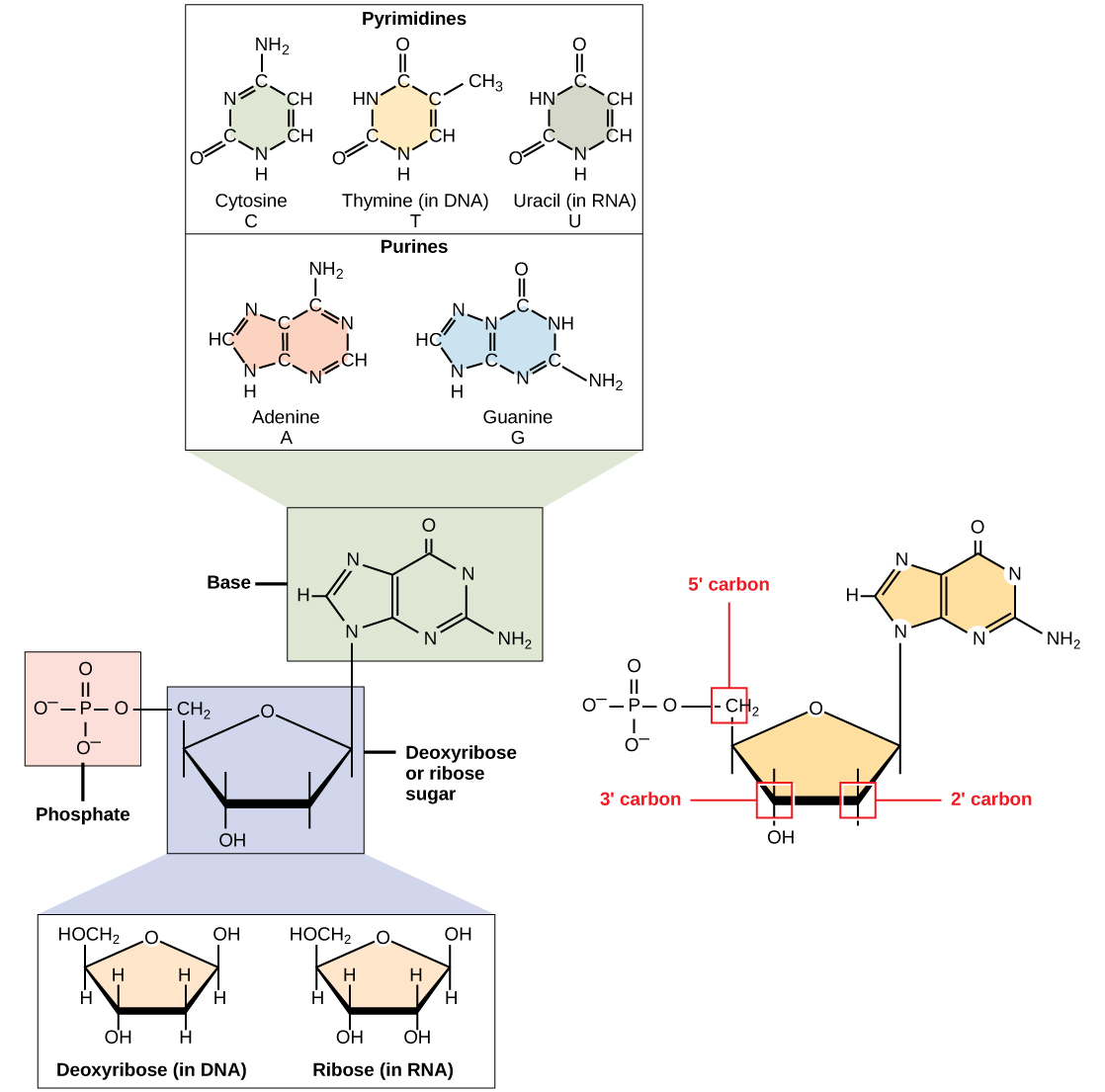 The molecular structure of a nucleotide is shown. The core of the nucleotide is a pentose whose carbon residues are numbered one prime through five prime. The base is attached to the one prime carbon, and the phosphate is attached to the five prime carbon. Two kinds of pentose are found in nucleotides: ribose and deoxyribose. Deoxyribose has an H instead of O H at the two prime position. Five kinds of base are found in nucleotides. Two of these, adenine and guanine, are purine bases with two rings fused together. The other three, cytosine, thymine and uracil, have one six-membered ring.