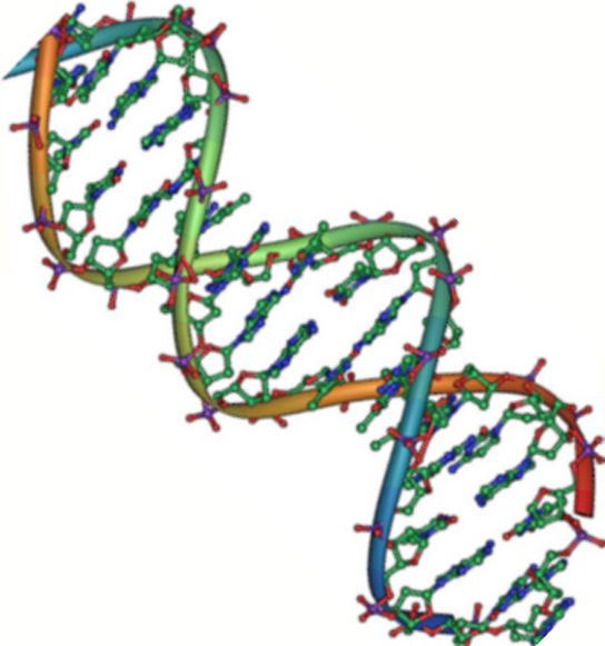 The molecular structure of D N A is shown. D N A consists of two antiparallel strands twisted in a double helix. The phosphate backbone is on the outside, and the nitrogenous bases face one another on the inside.  The bases appear as strands between the phosphate backbone of the double helix.
