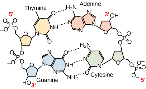 Hydrogen bonding between thymine and adenine and between guanine and cytosine is shown. Thymine forms two hydrogen bonds with adenine, and guanine forms three hydrogen bonds with cytosine. The phosphate backbones of each strand are on the outside and run in opposite directions.