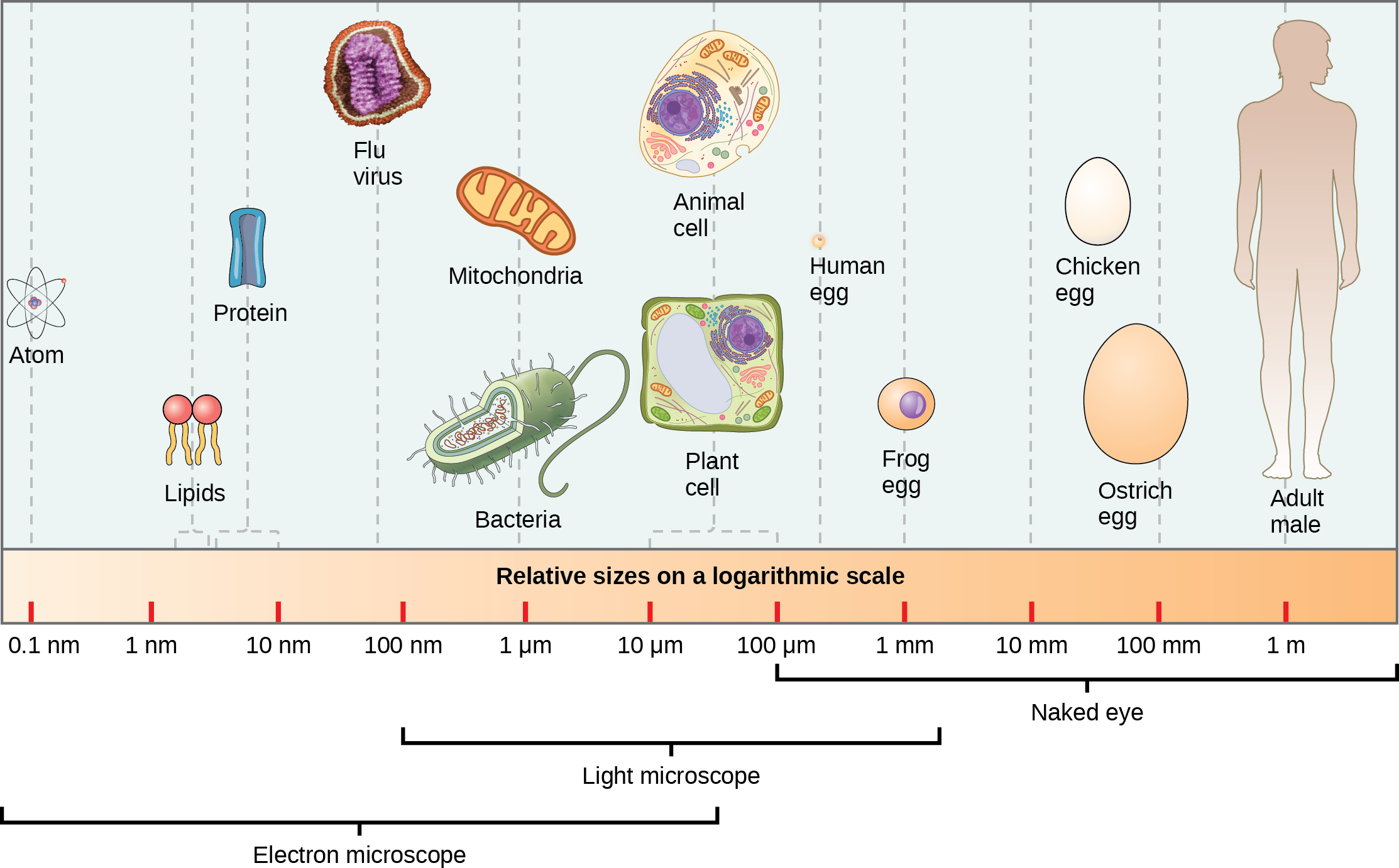 Part a: Relative sizes on a logarithmic scale, from 0.1 n m to 1 m, are shown. Objects are shown from smallest to largest. The smallest object shown, an atom, is about 1 n m in size. The next largest objects shown are lipids and proteins; these molecules are between 1 and 10 n m. Bacteria are about 100 n m, and mitochondria are about 1 greek mu m. Plant and animal cells are both between 10 and 100 greek mu m. A human egg is between 100 greek mu m and 1 m m. A frog egg is about 1 m m, A chicken egg and an ostrich egg are both between 10 and 100 m m, but a chicken egg is larger. For comparison, a human is approximately 1 m tall.