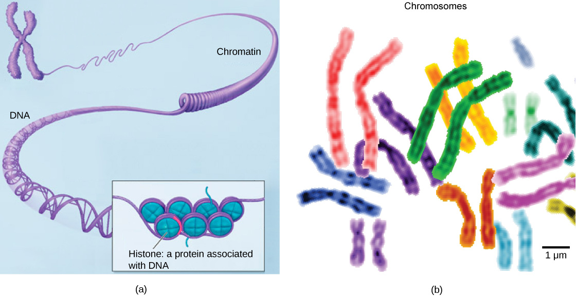 Part a: In this illustration, DNA tightly coiled into two thick cylinders is shown in the upper right. A close-up shows how the DNA is coiled around proteins called histones. Part b: This image shows paired chromosomes.  The chromosomes are shown as a collection of slender tubes.