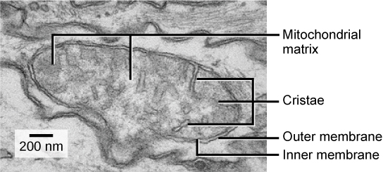This transmission electron micrograph of a mitochondrion shows an oval outer membrane and an inner membrane with many folds called cristae. Inside the inner membrane is a space called the mitochondrial matrix.