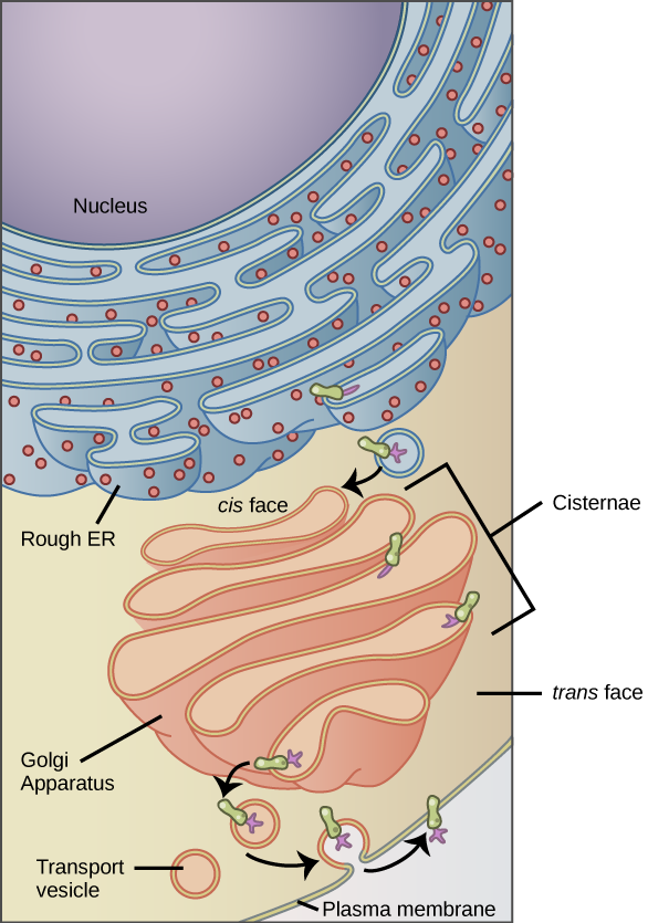 The left part of this figure shows the rough E R with an integral membrane protein embedded in it. The part of the protein facing the inside of the E R has a carbohydrate attached to it. The protein is shown leaving the E R in a vesicle that fuses with the cis side of the Golgi apparatus. The Golgi apparatus consists of several layers of membranes, called cisternae. As the protein passes through the cisternae, it is further modified by the addition of more carbohydrates. Eventually, it leaves the trans face of the Golgi in a vesicle. The vesicle fuses with the cell membrane so that the carbohydrate that was on the inside of the vesicle now faces the outside of the membrane. At the same time, the contents of the vesicle are ejected from the cell.
