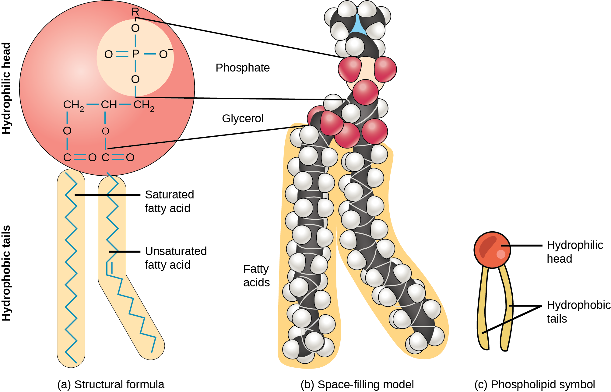 An illustration of a phospholipid shows a hydrophilic head group composed of phosphate connected to a three-carbon glycerol molecule, and two hydrophobic tails composed of long hydrocarbon chains.